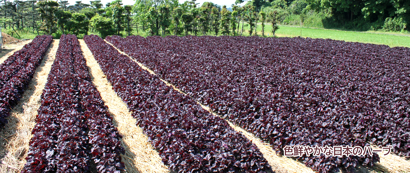 旬の農産物「赤シソ」