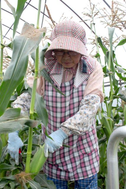 収穫する生産者